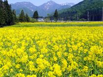 周辺の観光地(花の郷菜の花)